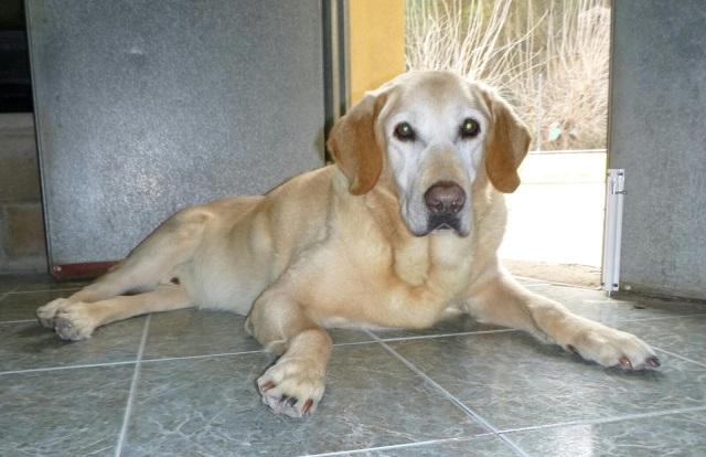 Bildertagebuch - Hook, liebebedürftiger Labradorsenior wünscht sich ein Verwöhnplätzchen, Zuhause in Spanien gefunden! 31697336io