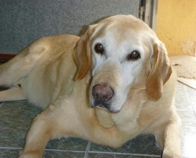 Bildertagebuch - Hook, liebebedürftiger Labradorsenior wünscht sich ein Verwöhnplätzchen, Zuhause in Spanien gefunden! 31697337cs