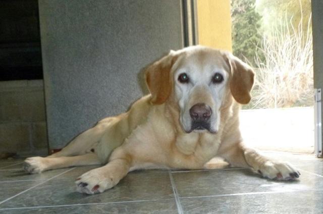 Bildertagebuch - Hook, liebebedürftiger Labradorsenior wünscht sich ein Verwöhnplätzchen, Zuhause in Spanien gefunden! 31697338in