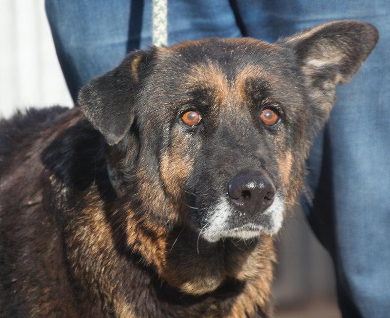 Bildertagebuch - ARABELLA, ältere Schäferhund-Lady sitzt seit 9 Jahren im Zwinger einer Perrera... - VERMITTELT! 31759332ha
