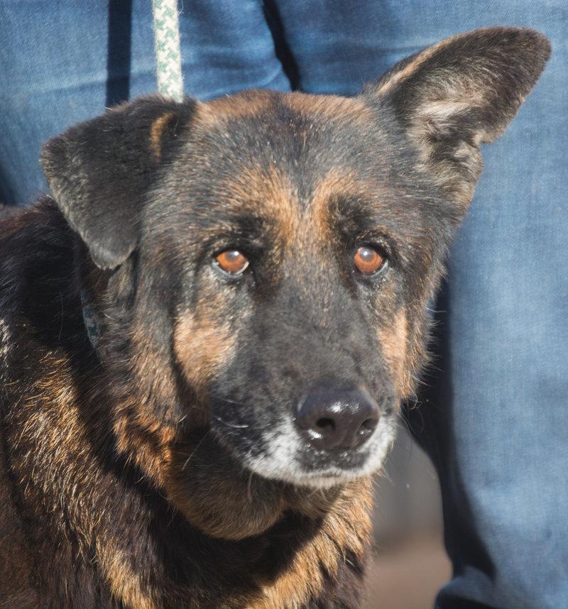 Bildertagebuch - ARABELLA, ältere Schäferhund-Lady sitzt seit 9 Jahren im Zwinger einer Perrera... - VERMITTELT! 31759333zx
