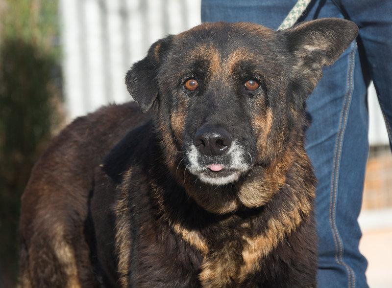Bildertagebuch - ARABELLA, ältere Schäferhund-Lady sitzt seit 9 Jahren im Zwinger einer Perrera... - VERMITTELT! 31759336dg
