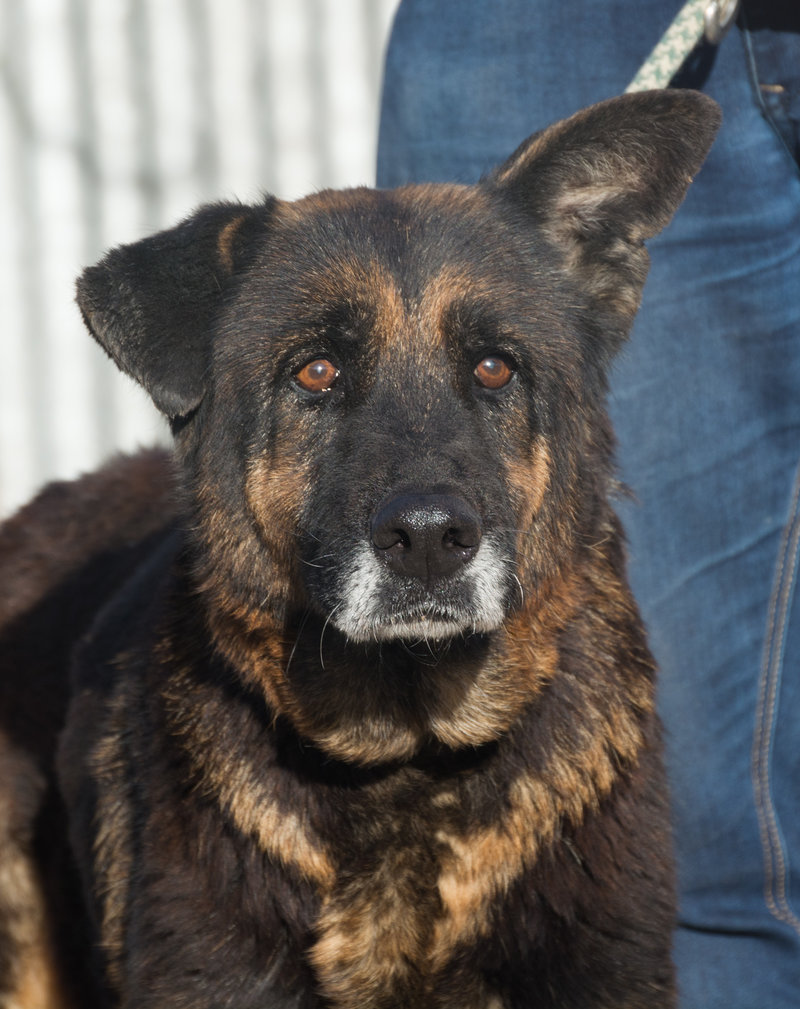 Bildertagebuch - ARABELLA, ältere Schäferhund-Lady sitzt seit 9 Jahren im Zwinger einer Perrera... - VERMITTELT! 31759337qm