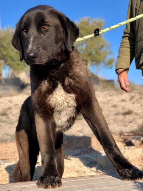 Bildertagebuch - IONA, großes, flauschiges Mädchen in der Farbe eines Wolfes - VERMITTELT! 31892777to