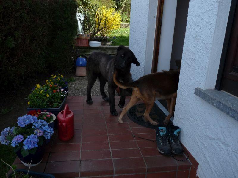 Bildertagebuch - IONA, großes, flauschiges Mädchen in der Farbe eines Wolfes - VERMITTELT! 32414468hm