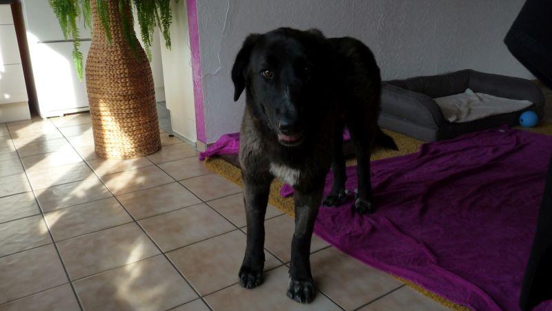 Bildertagebuch - IONA, großes, flauschiges Mädchen in der Farbe eines Wolfes - VERMITTELT! 32414473fr