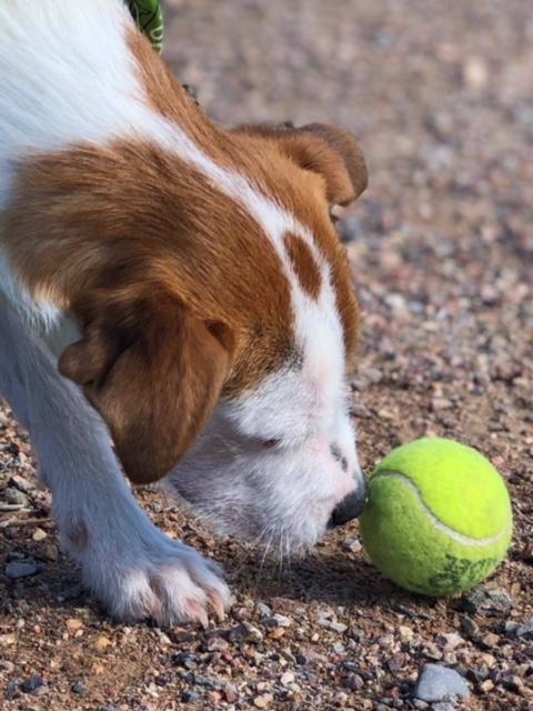 Bildertagebuch - Doyle, kleiner Terriermann will ganz groß rauskommen - VERMITTELT! 32493562sn