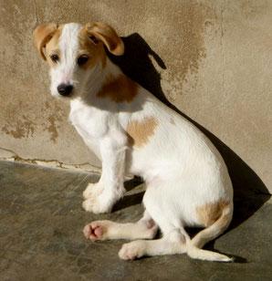 Bildertagebuch - Jimbo, süßer Hundebub möchte die Welt entdecken...ZUHAUSE IN SPANIEN GEFUNDEN! 32513020vc
