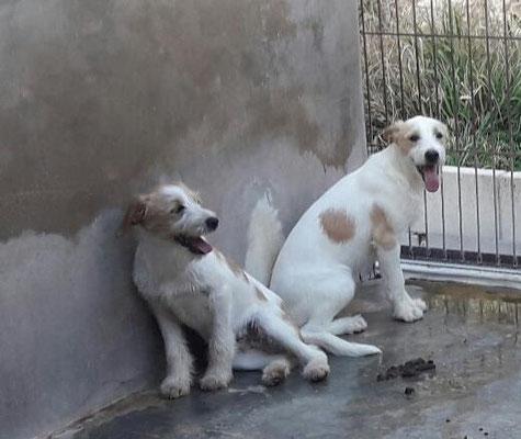 Bildertagebuch - Jimbo, süßer Hundebub möchte die Welt entdecken...ZUHAUSE IN SPANIEN GEFUNDEN! 32513021jp
