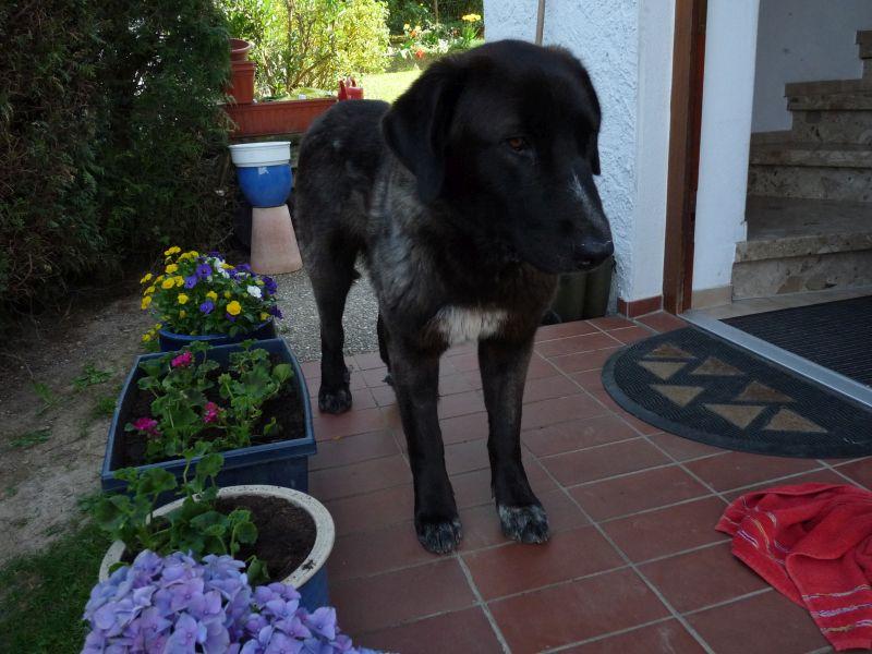 Bildertagebuch - IONA, großes, flauschiges Mädchen in der Farbe eines Wolfes - VERMITTELT! 32523409om