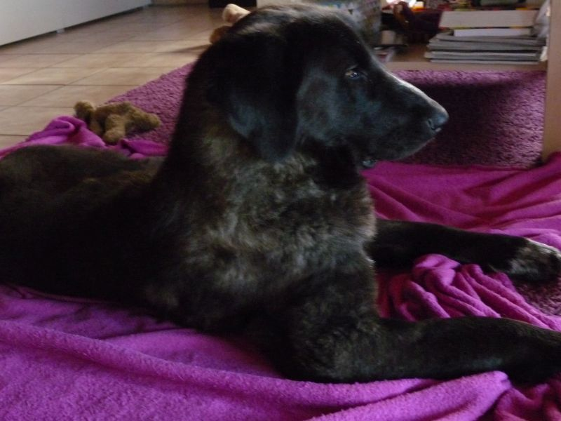 Bildertagebuch - IONA, großes, flauschiges Mädchen in der Farbe eines Wolfes - VERMITTELT! 32523410el