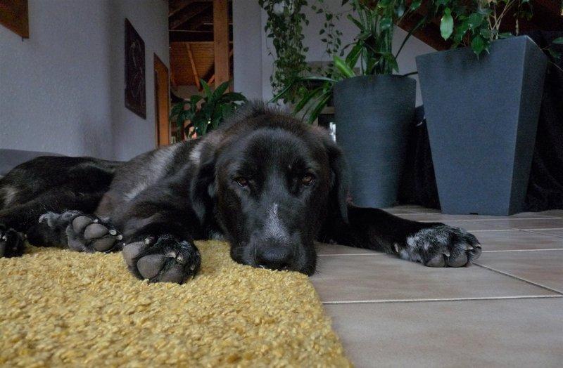 Bildertagebuch - IONA, großes, flauschiges Mädchen in der Farbe eines Wolfes - VERMITTELT! 32690563pq