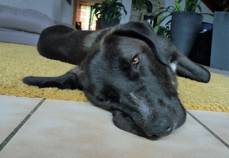 Bildertagebuch - IONA, großes, flauschiges Mädchen in der Farbe eines Wolfes - VERMITTELT! 32690567au