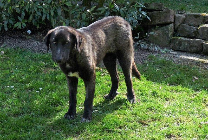 Bildertagebuch - IONA, großes, flauschiges Mädchen in der Farbe eines Wolfes - VERMITTELT! 32690574ye