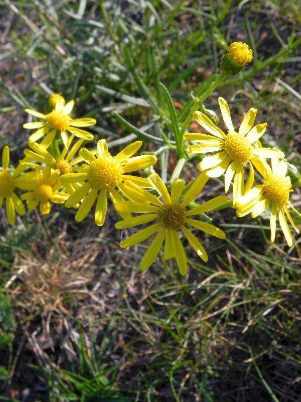 Wildblumen ( Sammelthread) - Seite 19 34077518qh