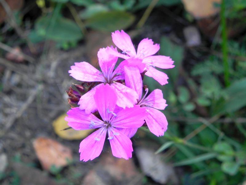 Wildblumen ( Sammelthread) - Seite 19 34077566vi