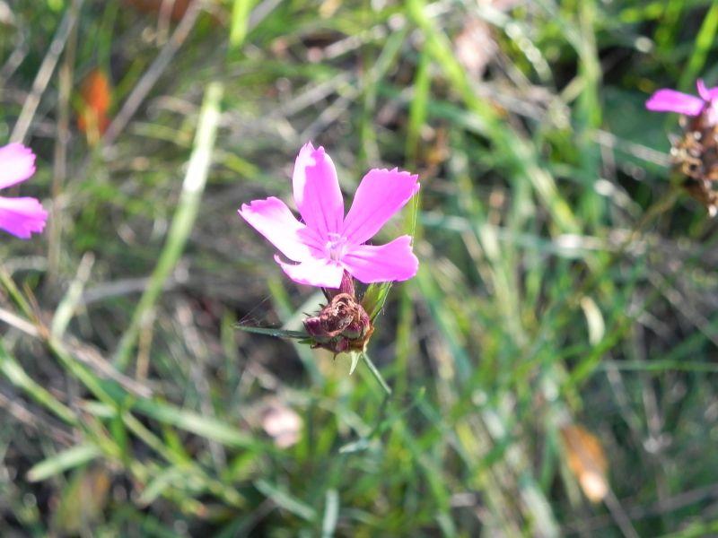 Wildblumen ( Sammelthread) - Seite 19 34077567uz