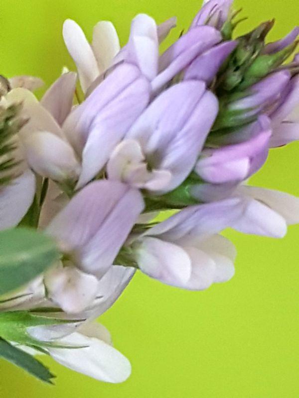 Wildblumen ( Sammelthread) - Seite 19 34077585vl
