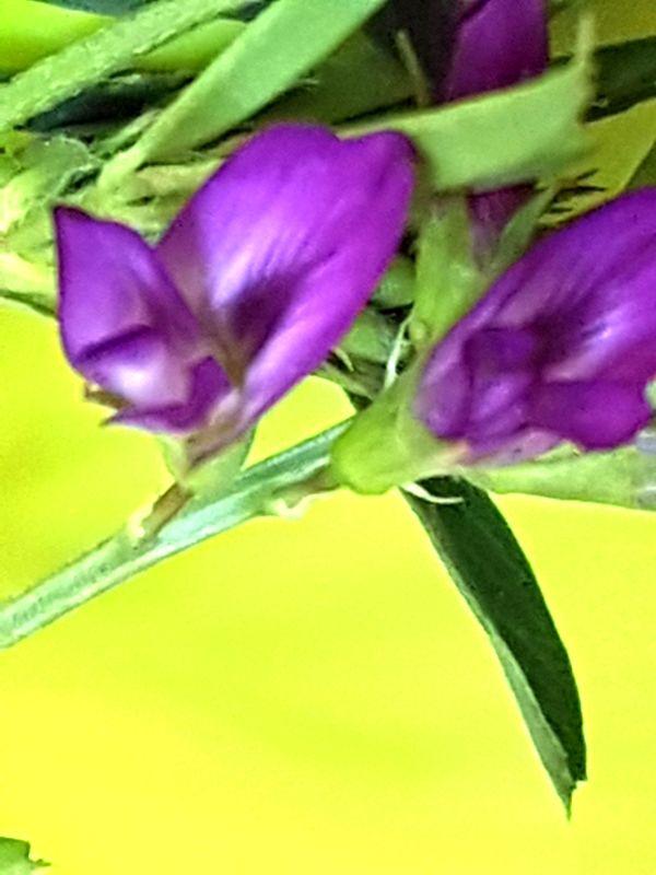 Wildblumen ( Sammelthread) - Seite 19 34077586ci