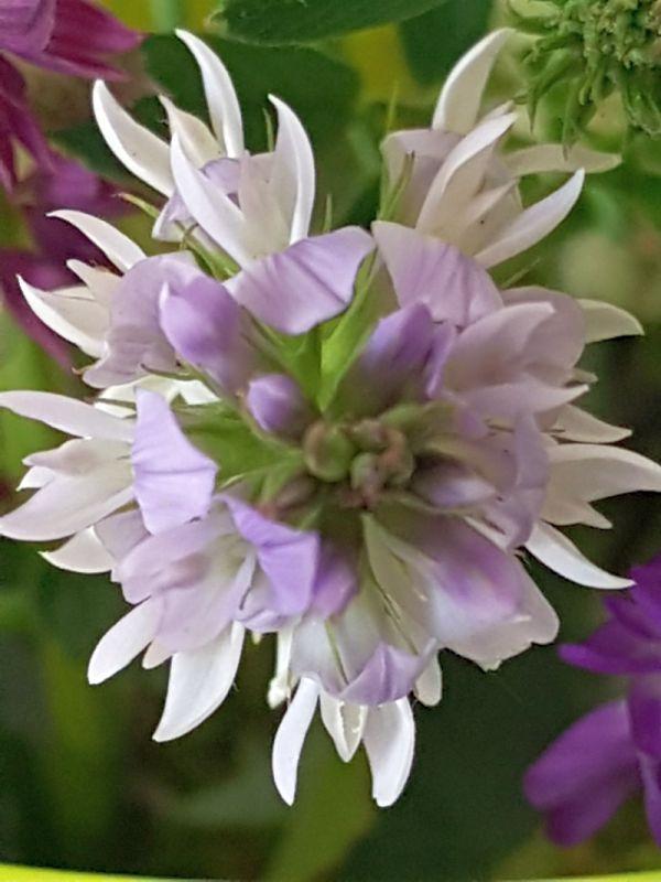 Wildblumen ( Sammelthread) - Seite 19 34077592ky