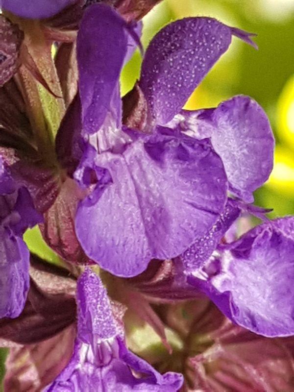 Wildblumen ( Sammelthread) - Seite 19 34077608lz
