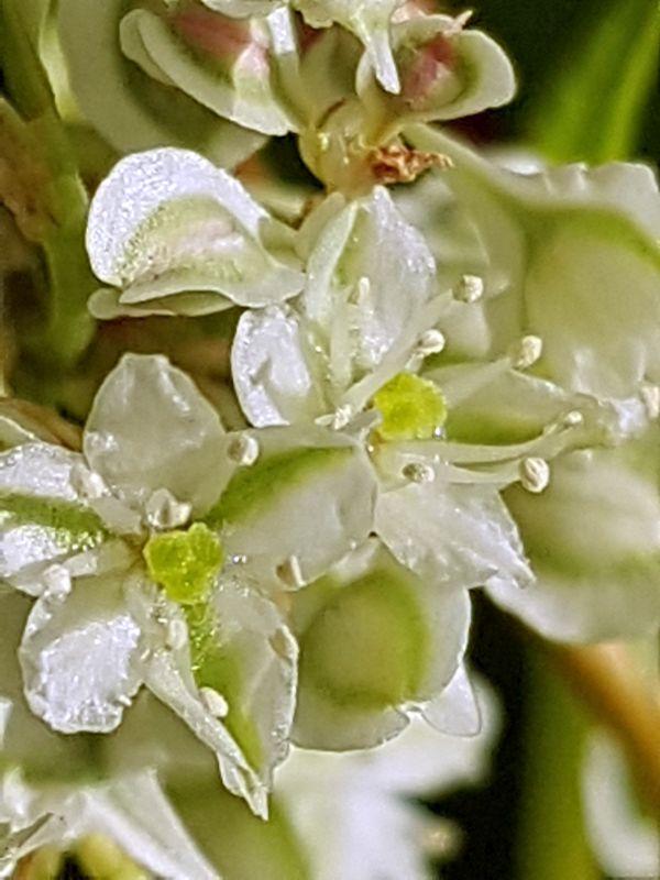 Wildblumen ( Sammelthread) - Seite 19 34077613uj