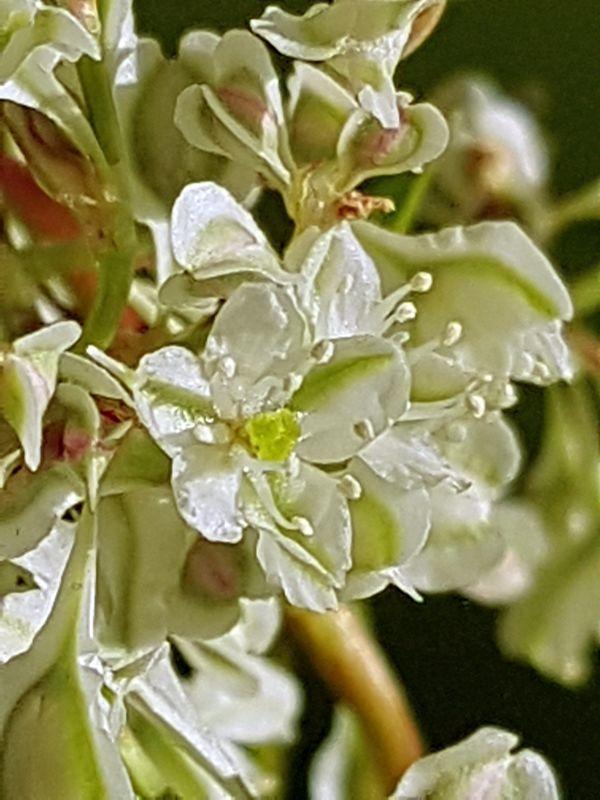 Wildblumen ( Sammelthread) - Seite 19 34077615hz