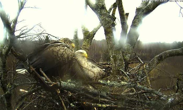 White-tailed Eagle Camera Lovers - Page 9 4303938