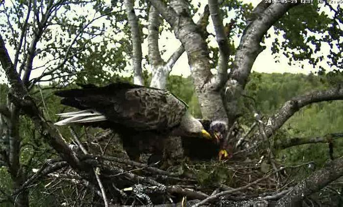 White-tailed Eagle Camera Lovers - Page 10 4457935