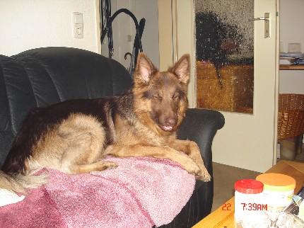 Xanthos- Langhaarschäferhund in Not geraten 6003434