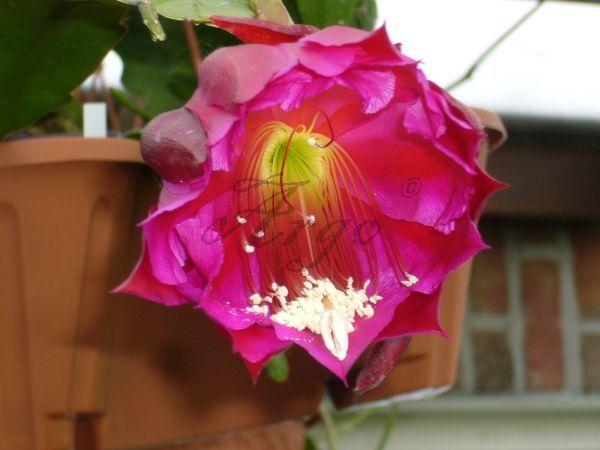 Epiphyllum 7085016iam