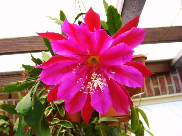 Epiphyllum 7088132gzu