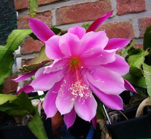Epiphyllum 7135150nec