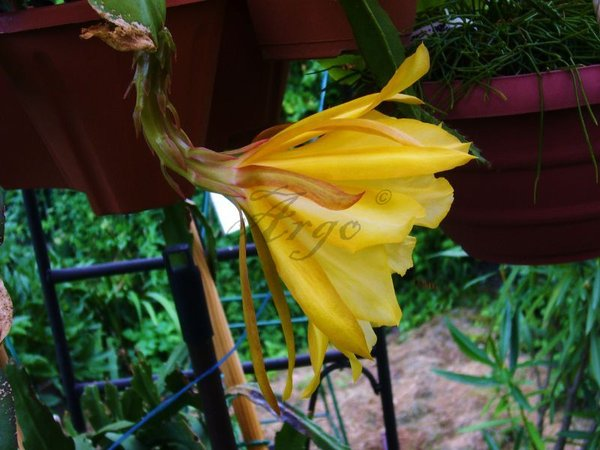 Epiphyllum 7645093hyx