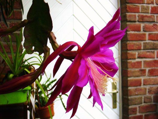 Epiphyllum 7770410mzu