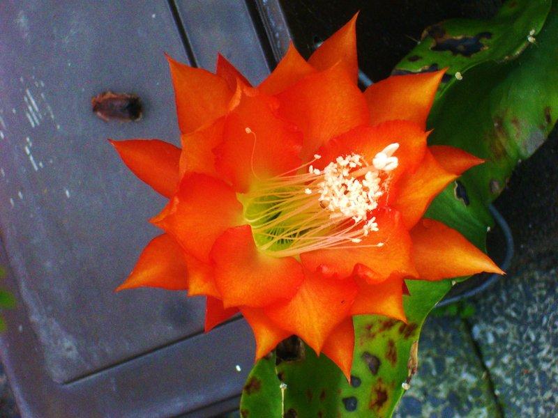 Epiphyllum 7770475goi