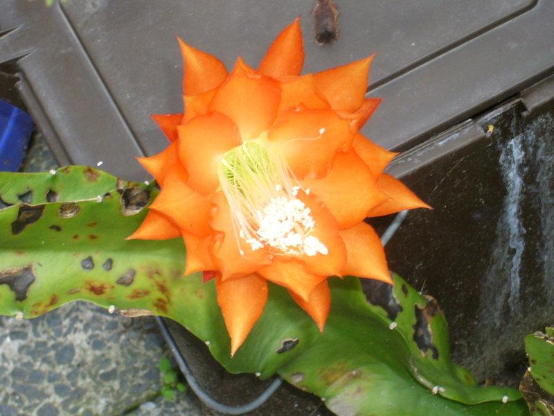 Epiphyllum 7770488nfk