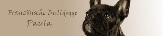 französische bulldogge mops forum - Das kleine Bullyforum - Portal 8117493vmh