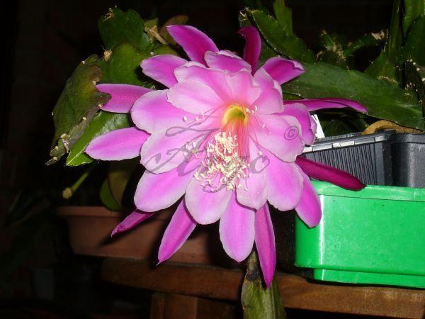 Epiphyllum 8163358xcl