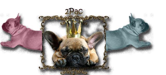 französische bulldogge mops forum - Das kleine Bullyforum - Portal 8863340zfu