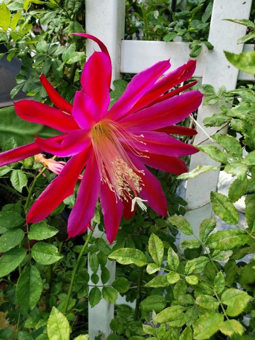 Emkay: hoa quỳnh đủ màu - Page 2 0a9db43a6d48b3cefbc0045a3f821a6c.md