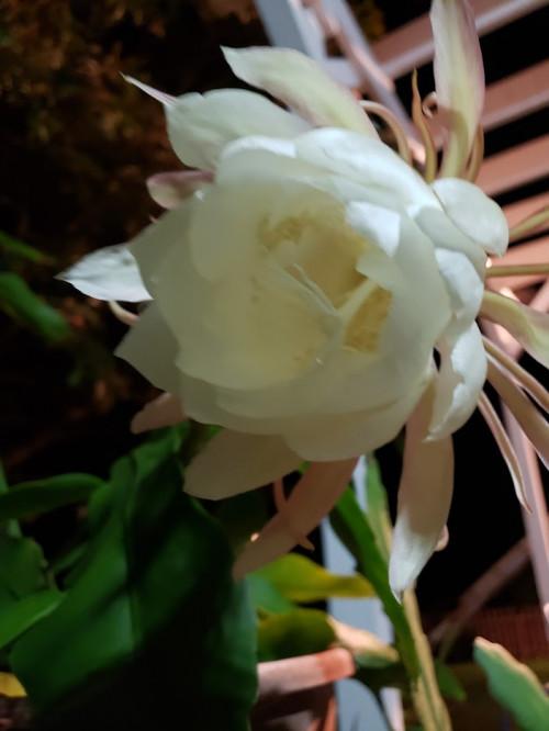 Emkay: hoa quỳnh đủ màu - Page 2 259daf0a3d4b13a0451ca9b10a010180.md