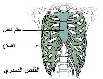 درس التنفس/علوم الحياة و الارض/ Thoracic_cage