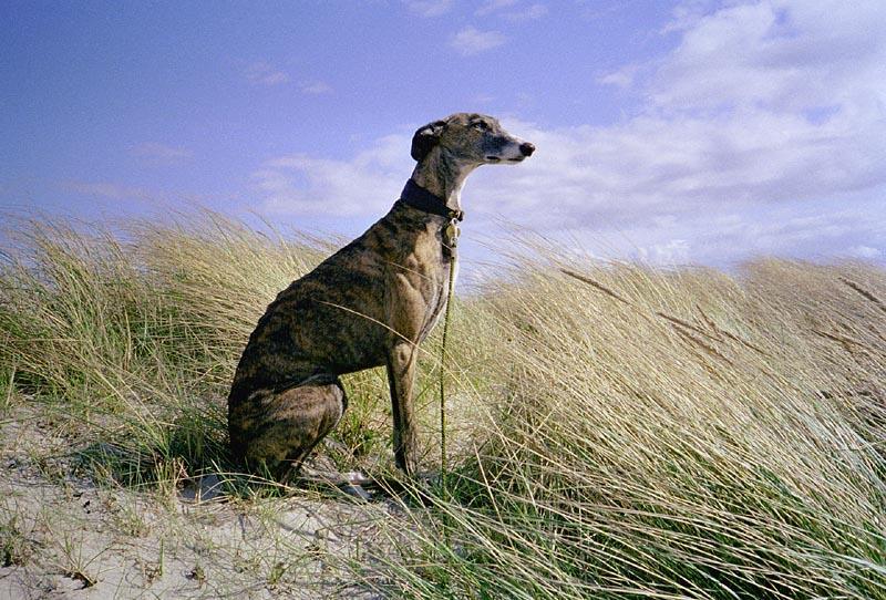 Dogs - Page 2 Galgo_Espa%C3%B1ol_en_los_campos_castellanos