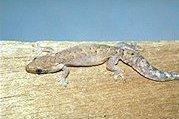 [Fiche] Lepidodactylus lugubris Lepidodactylus_lugubris