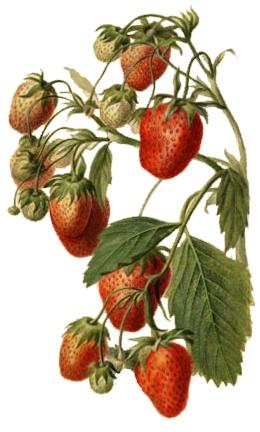الــى محبــي الفــراولــة StrawberryWatercolor