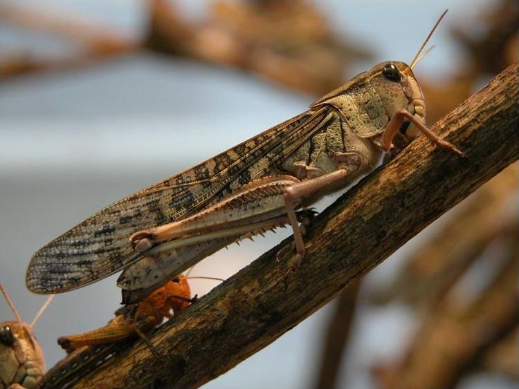 quel est votre insecte préféré Wanderheuschrecke-03