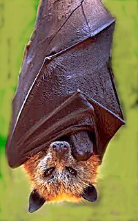 Bat Radar (Echolocation) and other bat matters Golden_crowned_fruit_bat
