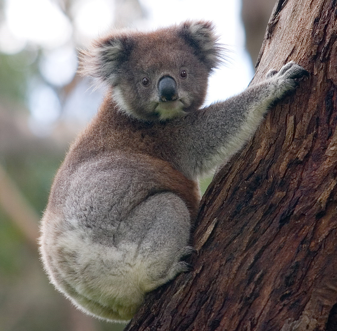 Qui suis-je  par Gin-To ? trouvé par Martin Koala_climbing_tree