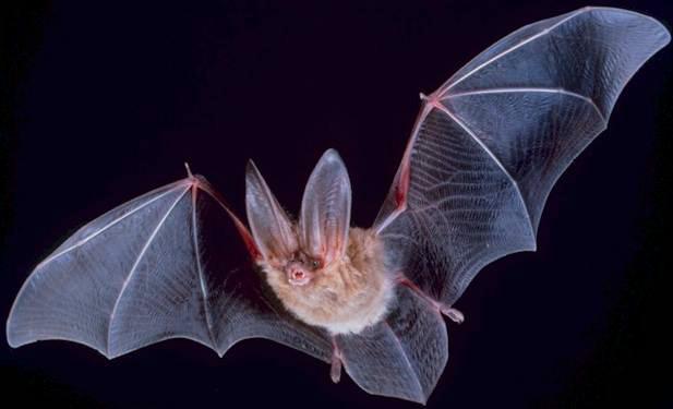 Bat Radar (Echolocation) and other bat matters Big-eared-townsend-fledermaus